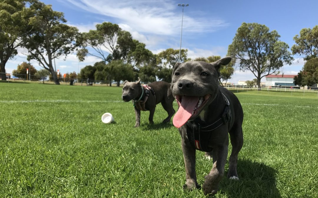 Two Dogs Running Around in a Public Park